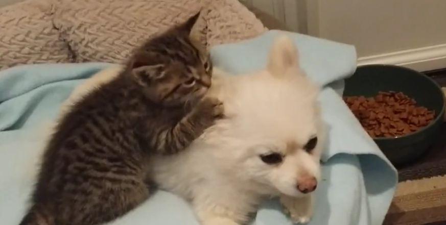 Rescued kitten loves Pomeranian dog