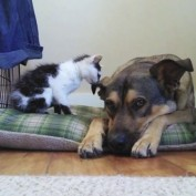 Tiny kitten meets big dog