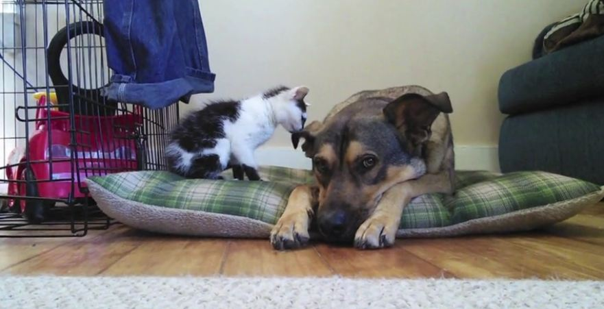 Tiny kitten meets big dog