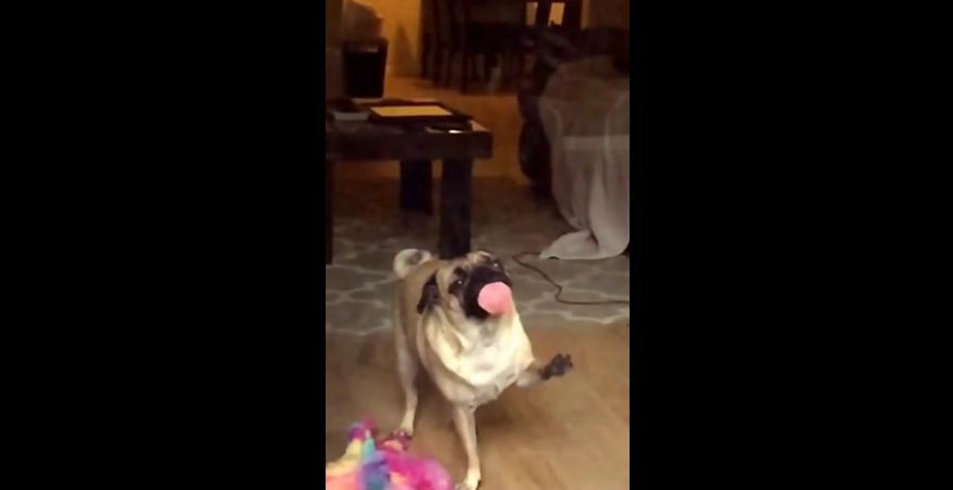 Pug discovers invisible force field