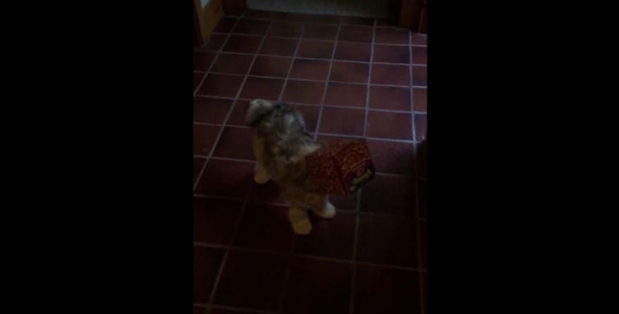 Puppy gets head stuck in tissue box