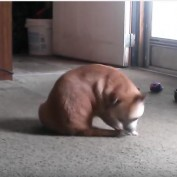 Dog Finally Catches Tail but Continues the Chase Anyways