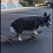 Skateboarding Corgi shows off mad skills