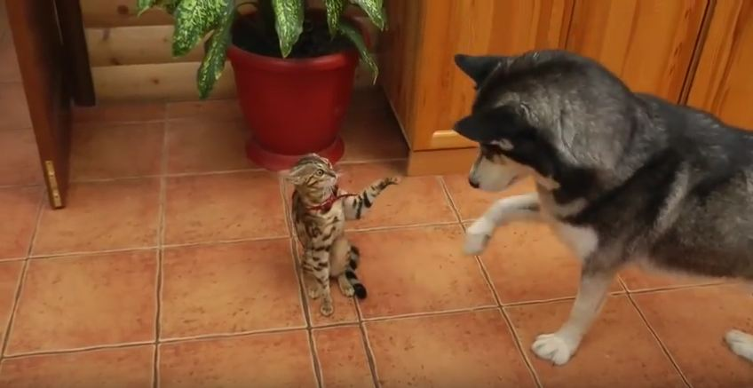 This Dog Really Wants To Play With This Cat…So Much That He Starts Mimicking Her