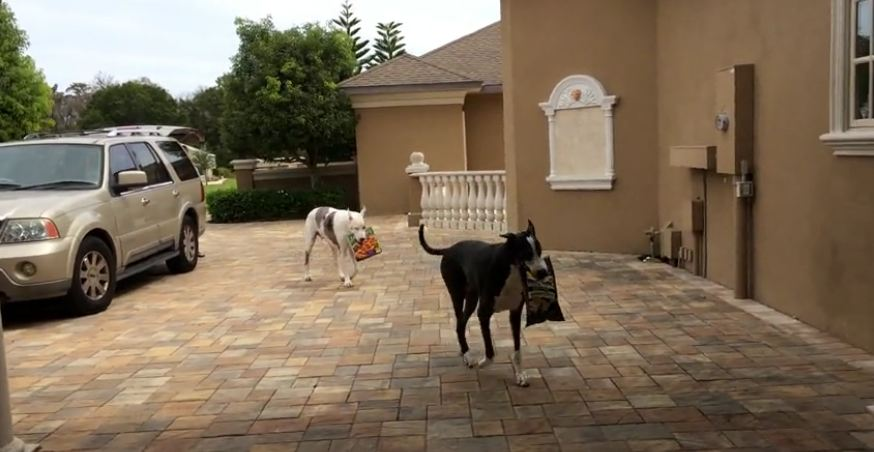 Great Danes help bring in the groceries