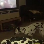 Sleepy Dalmatian Passes Out Standing Up