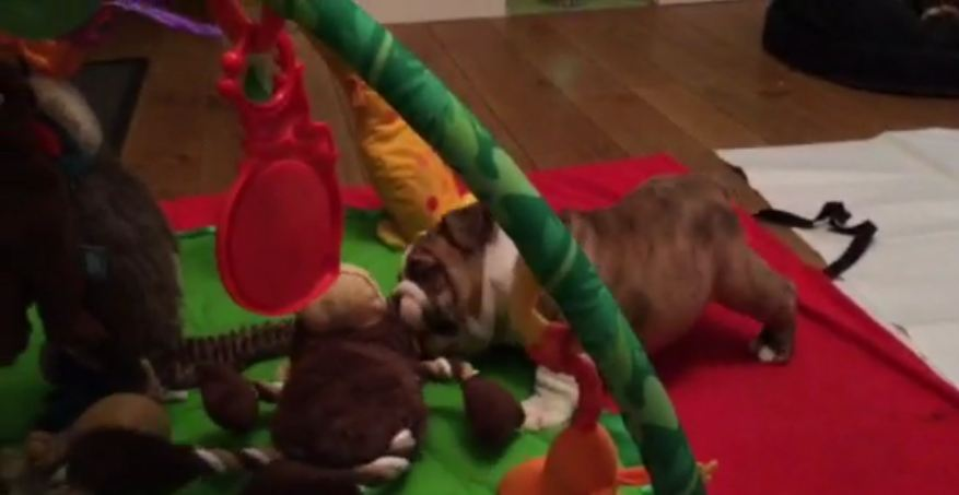 Puppy Bulldog Thinks He's the Boss!