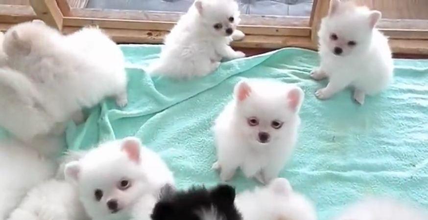 Litter of Pomeranian puppies