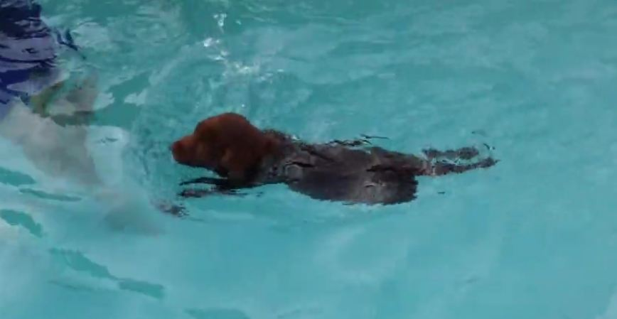 6-week-old puppy goes swimming