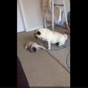 Nanny pug entertains playful puppy
