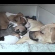 Chihuahua takes in pit bull puppy