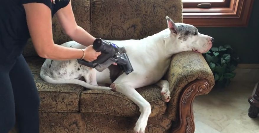 Great Dane chills out while being vacuumed