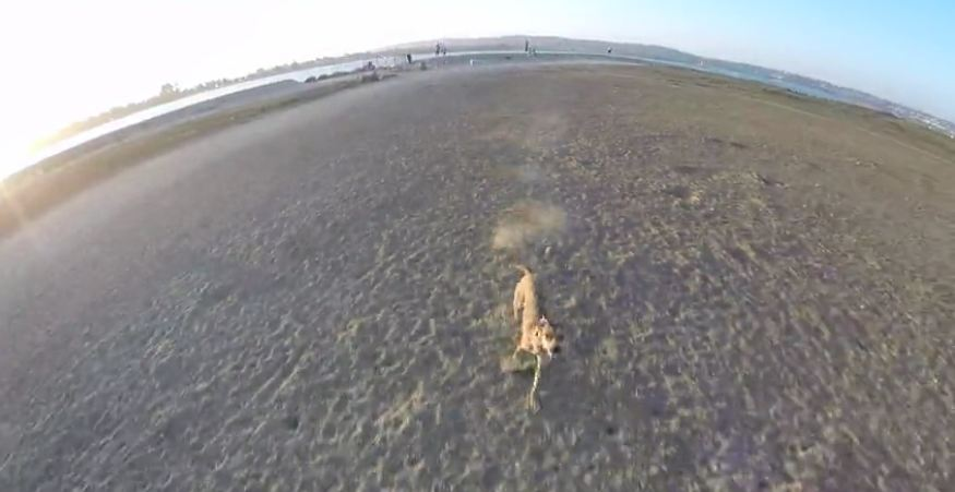 Dog chases drone all across the beach