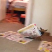 Chihuahua Puppy Destroys Newspaper