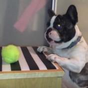 French Bulldog struggles to reach his favorite ball