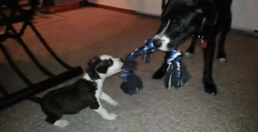 Brave Puppy Takes on Pitbull!