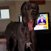 Great Dane knows exactly what to do for bath time