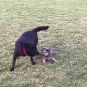 When a tiny dog plays with a big dog…