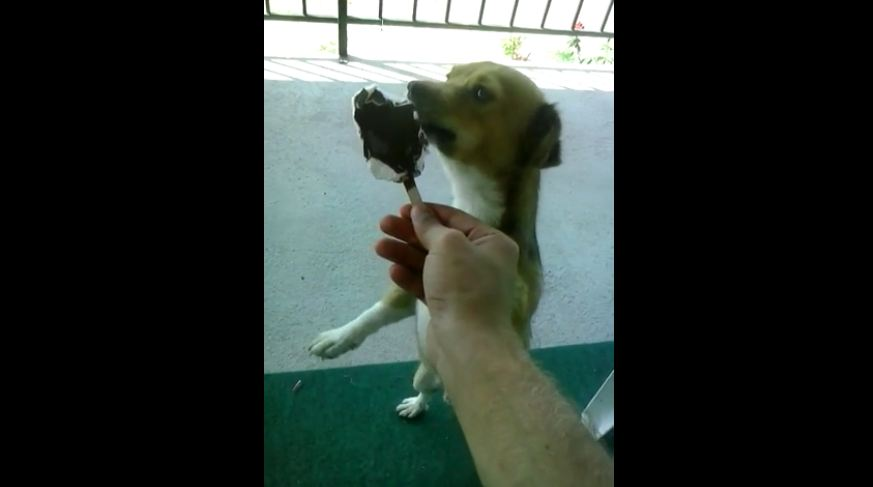 Excited dog eating ice cream