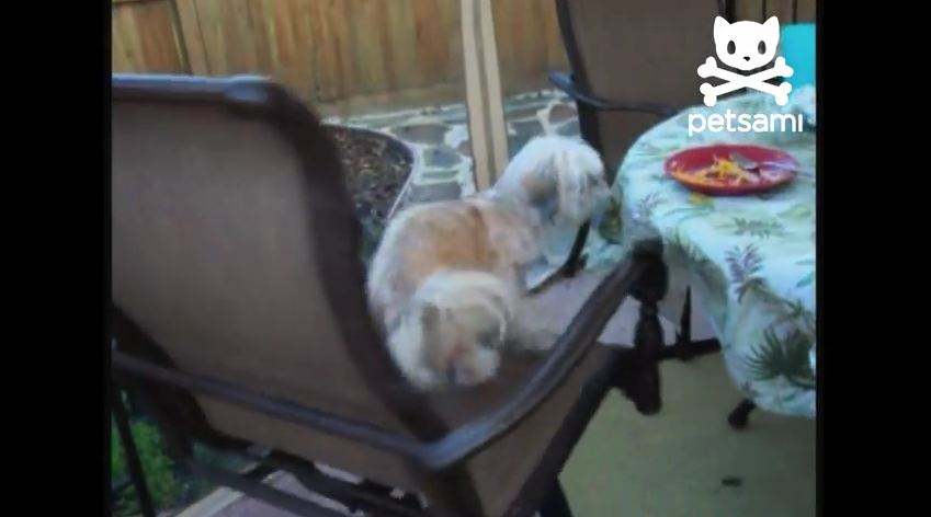 Dog Foiled by Spinning Deck Chair