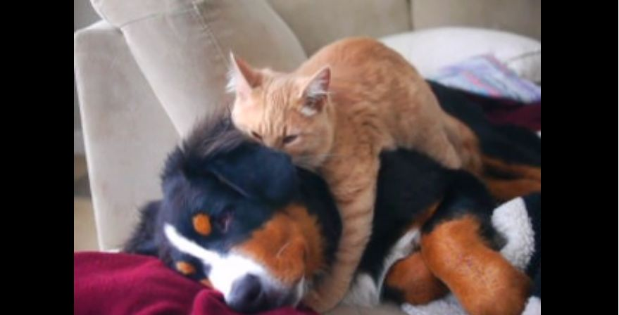 Cat demonstrates expertise as dog masseuse