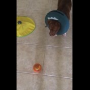Clever Pit Bull solves food puzzle ball