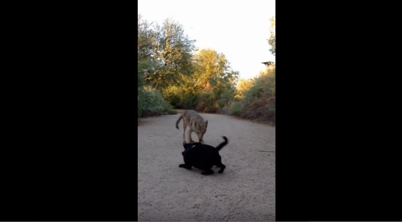 A Coyote Charged This Pug And You'll Never Believe What Happened Next