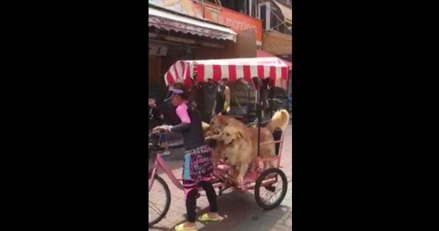 Three dogs enjoy a bike ride
