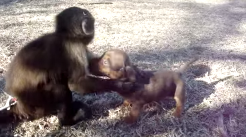 Monkey Adopts Weiner Dog And It's The Sweetest Thing You'll See All Day!