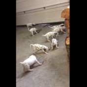 Dalmatian puppies play tug of war