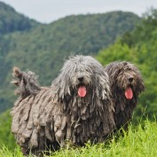 Meet The 7 New Dog Breeds Introduced By The AKC–All From The Comfort Of Your Living Room!