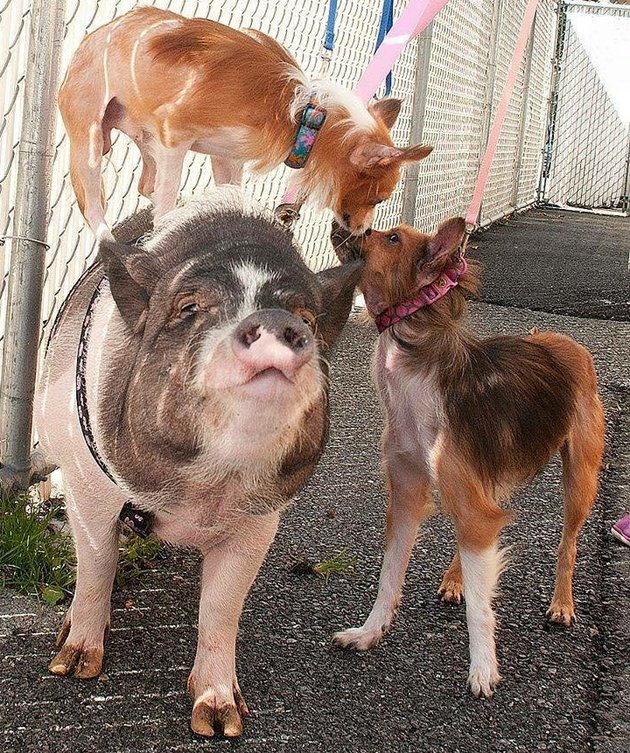 01-Pig-Dogs