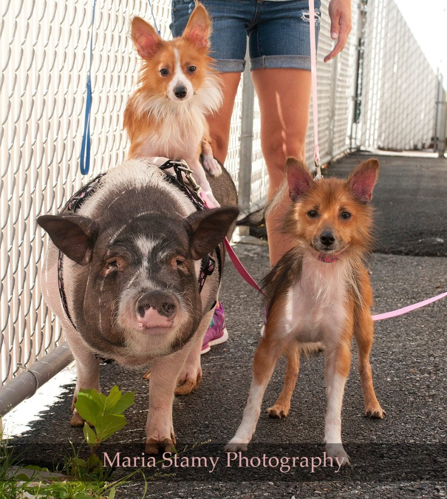 02-Pig-Dogs