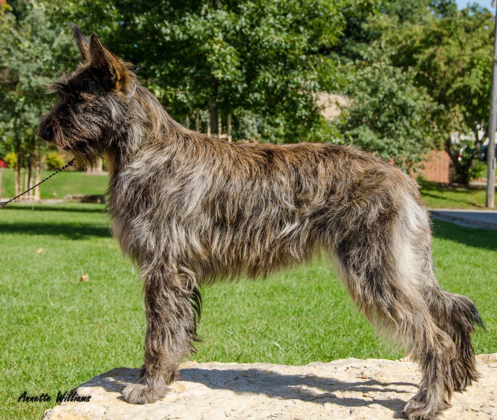 Meet The 7 New Dog Breeds Introduced By The AKC–All From The Comfort ...