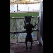 Boston terrier jumps like a pogo stick
