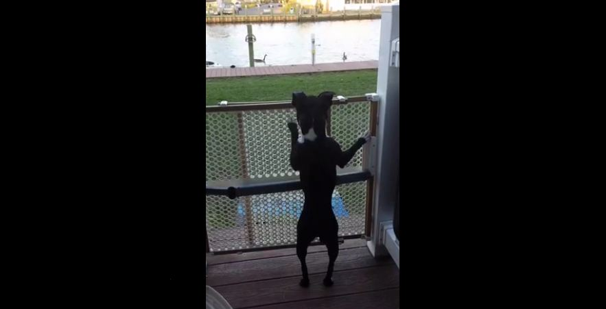 Boston terrier jumps like a pogo stick