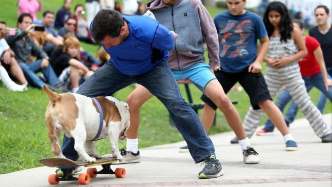 Otto the Skateboarding Bulldog Breaks a World Record