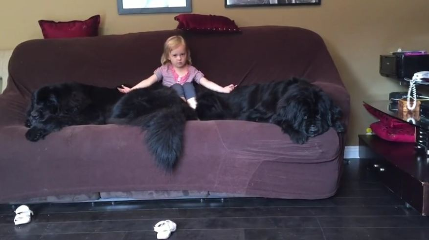 Massive dogs leave no room on couch for little girl