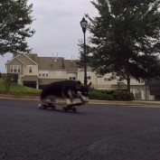 Talented Corgi is a skateboarding machine!