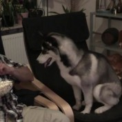 Siberian Husky absolutely obsessed with popcorn