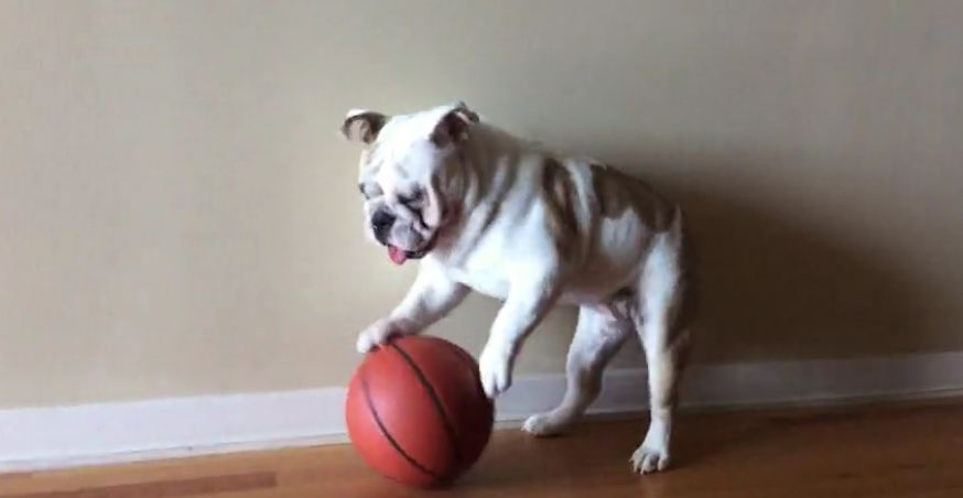 English Bulldog displays ball-handling skills