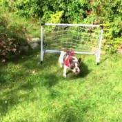 French Bulldog displays impressive goalkeeping skills