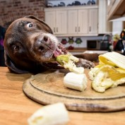 Meet Rollo: The Food-Obsessed Dog Who Just Won't Stop Eating! (Yes, Really)