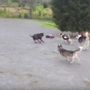 Dogs Finally Find a Car They Can Chase SAFELY!