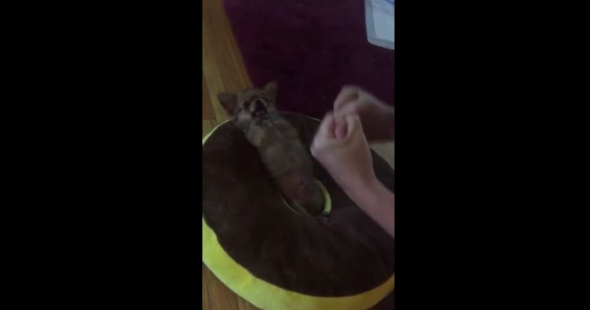 Precious Chihuahua throws the cutest punches ever!