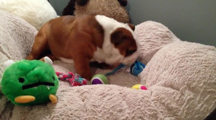 Bulldog puppy's priceless facial expression