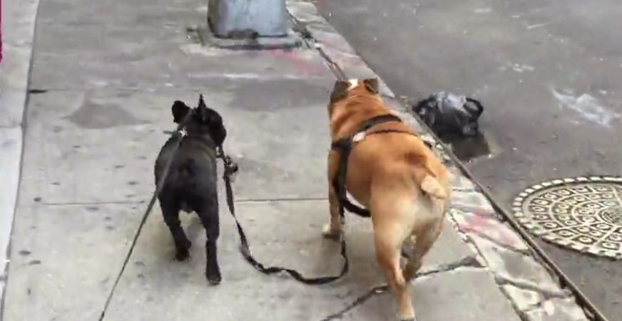 Puppy takes English Bulldog for a walk!