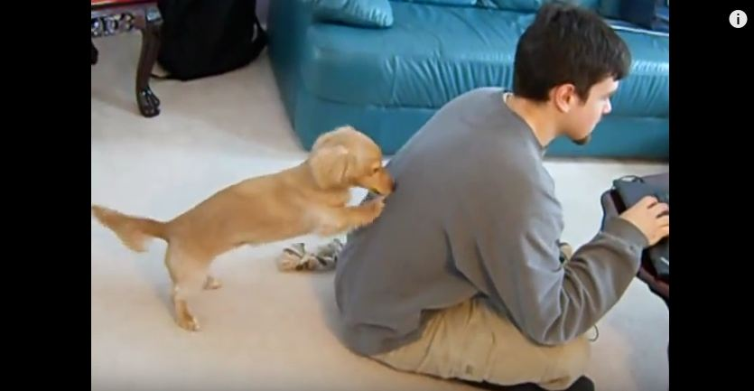 This Little Doxie Goes To Hilarious Lengths To Get A Little Love From His Human
