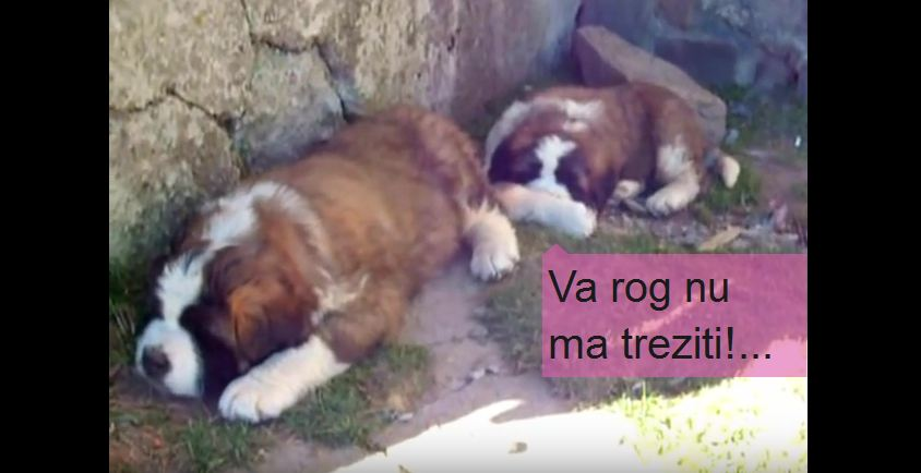 Saint Bernard Dogs Sleep and Enjoy the View