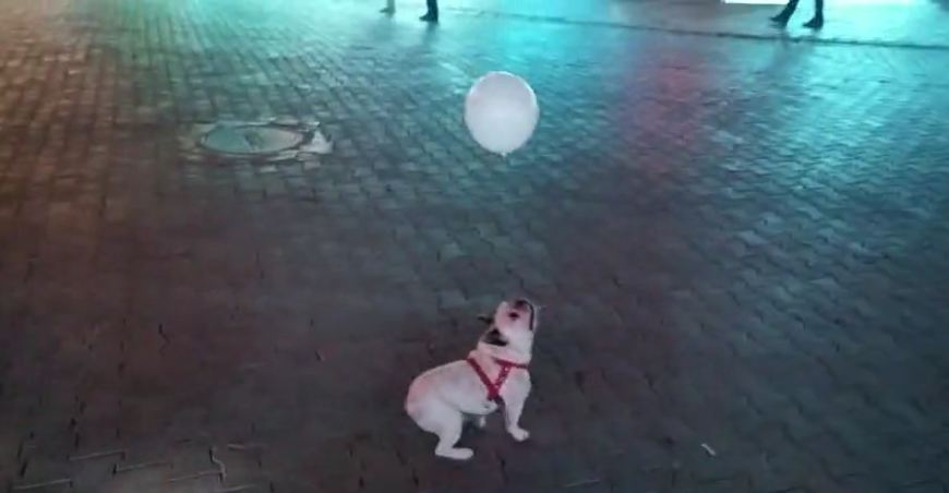 Bulldog puppy loves playing with balloon